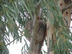 snuggled in Koala.JPG