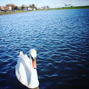 Swan at the Boating Lake