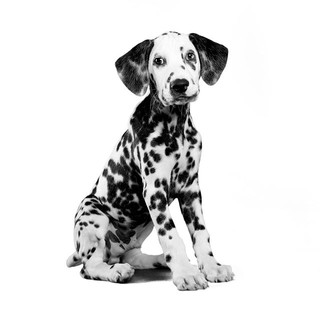 FunFact_ Dalmatians are best known as FI