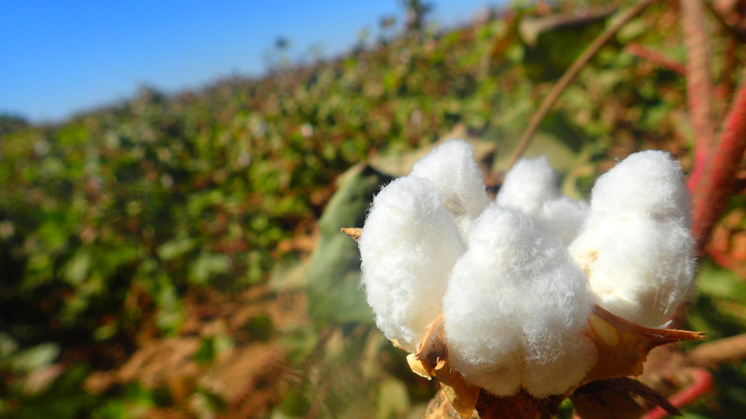 子ども達が収穫していた綿花