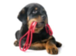 Rottie-leash.jpg