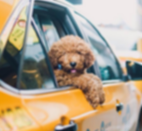 dog-in-taxi_large-e1520255654723.png