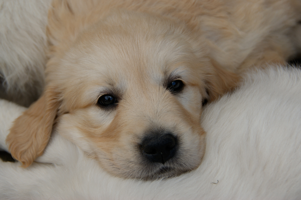 Gembæk Golden Retriever hvalpe