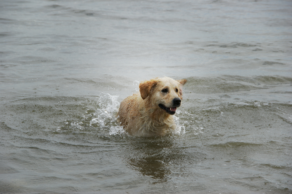 Gembæk Golden Retrievere