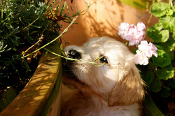 Gembæk Golden Retriever hvalpe