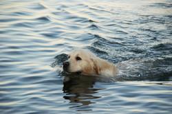 Gembæk Golden Retriever Stud Dog | S