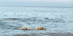 Gembæk Golden Retriever Stud Dogs