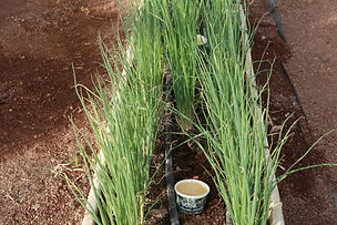 biocloud_tubs_row_of_spring_onions.JPG