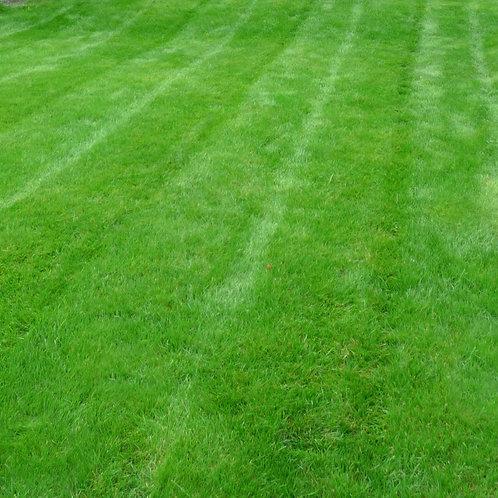 Dwarf Perennial Ryegrass (Lolium Perenne)