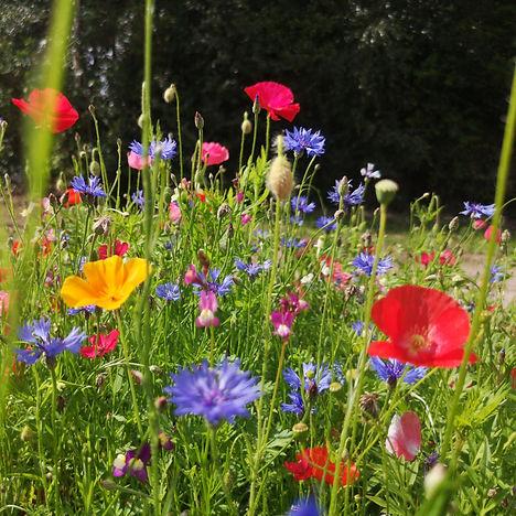 HC1 Annual Etna Wildflower Seed Mix.jpg