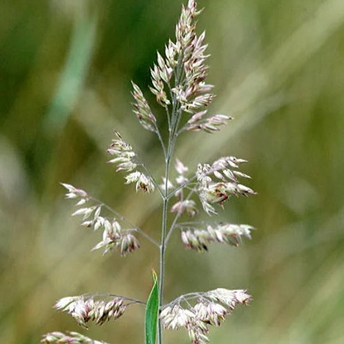 Smooth Stalked Meadow Grass Seed (Kentucky Bluegrass) (Poa Pratensis)