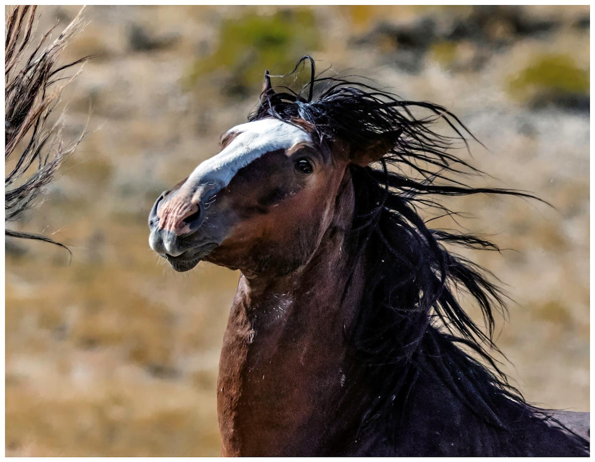 A Brush with a Wild Mustang