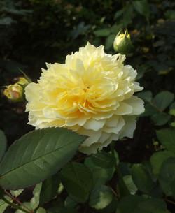 роза, сорт The Piligrim
