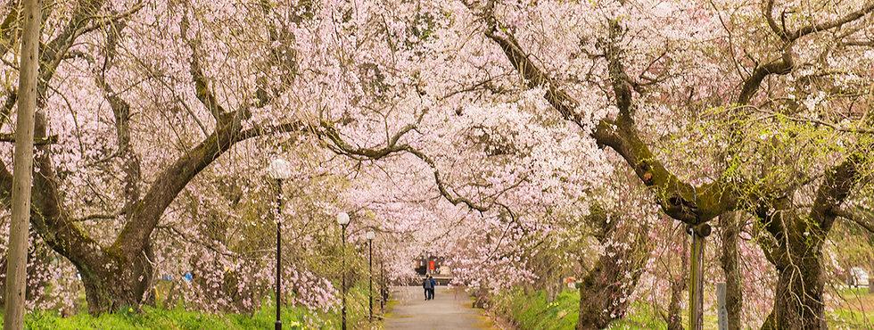 周辺観光(しだれ桜)