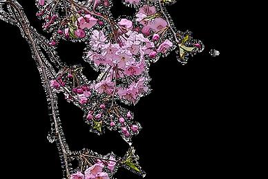 しだれ桜カット.png