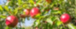 お知らせ(リンゴ画像)
