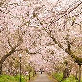 徳佐八幡宮しだれ桜