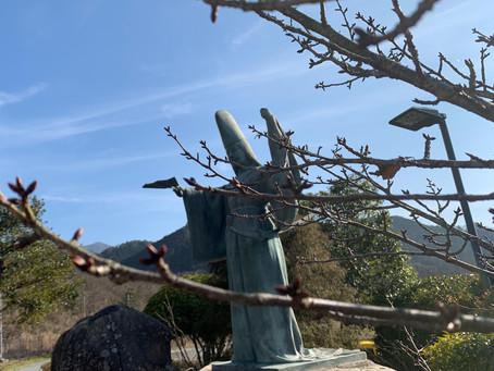 春待ち静桜