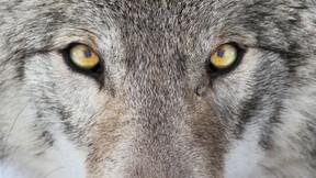 Lo que representa el lobo en los cuentos infantiles