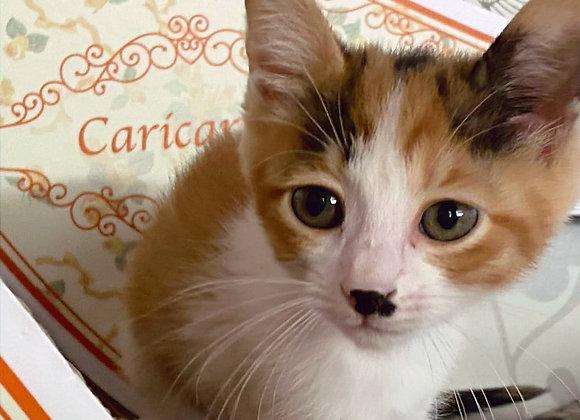 三毛猫「ちさき」