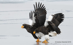Pair of Stellar's sea eagles