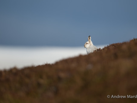 Photography tuition days with Scottish winter wildlife: the Mountain hares.