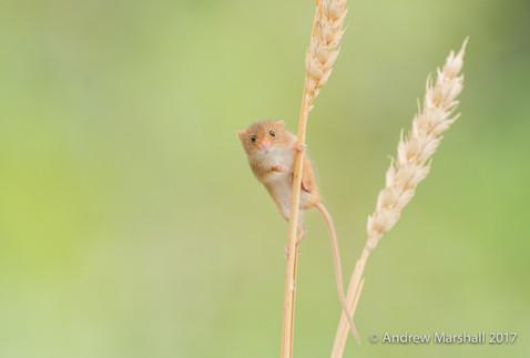 Harvest mouse curious !