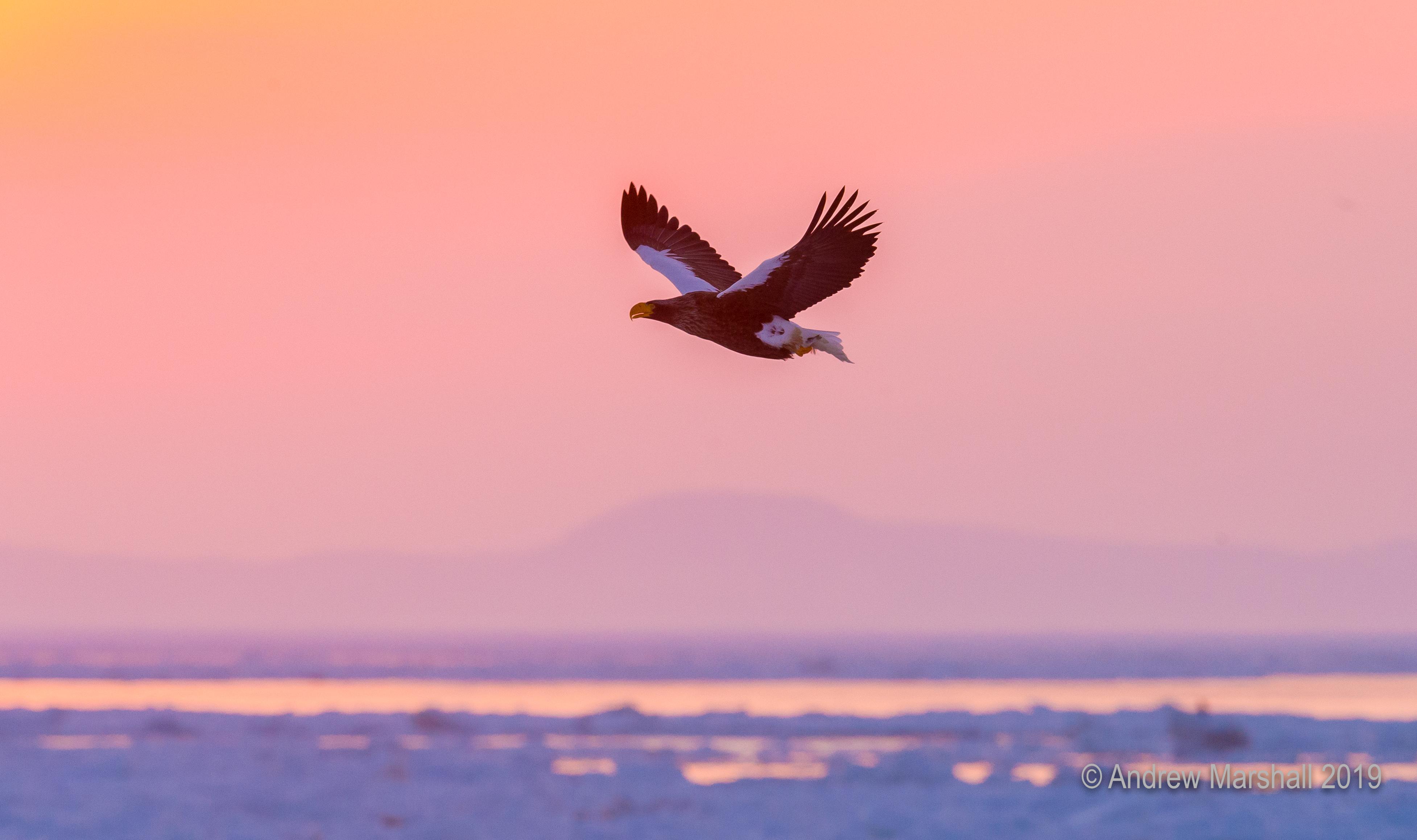 Stellar's sea eagle sunrise