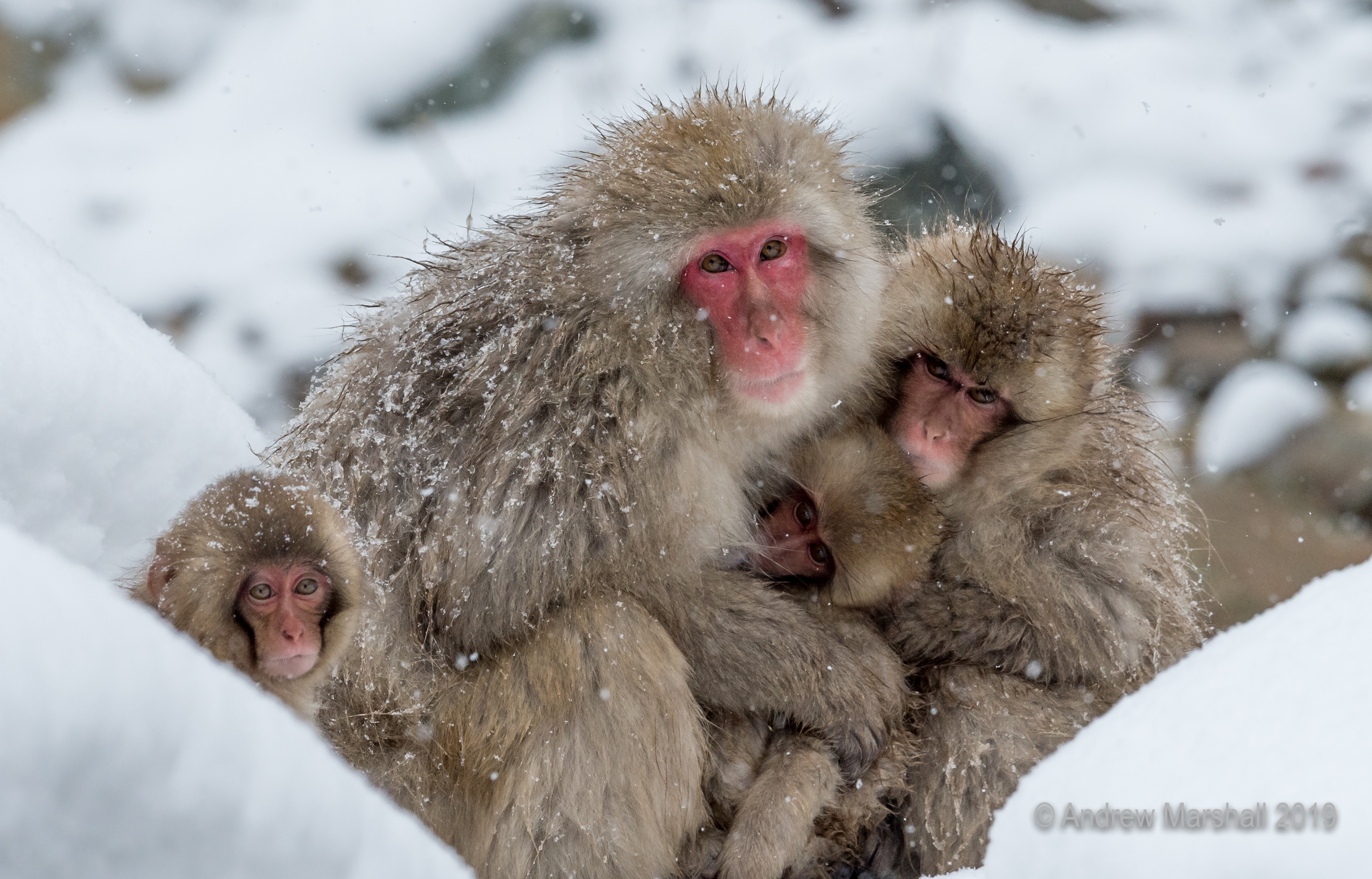 Snow monkey family portrait