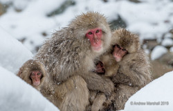 Snow monkey family portrait