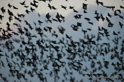 Clouds of starlings