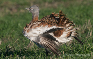 Great Bustard Fluffing up