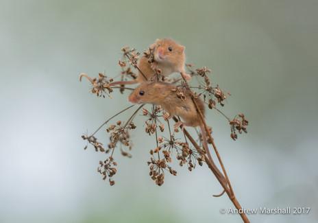 harvest mice on a seed head