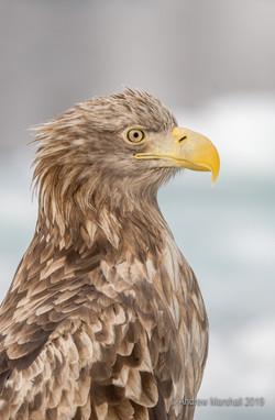 White tailed eagle portrait
