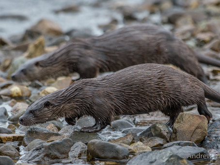 Guided photography trip: Otters on the Isle of Mull