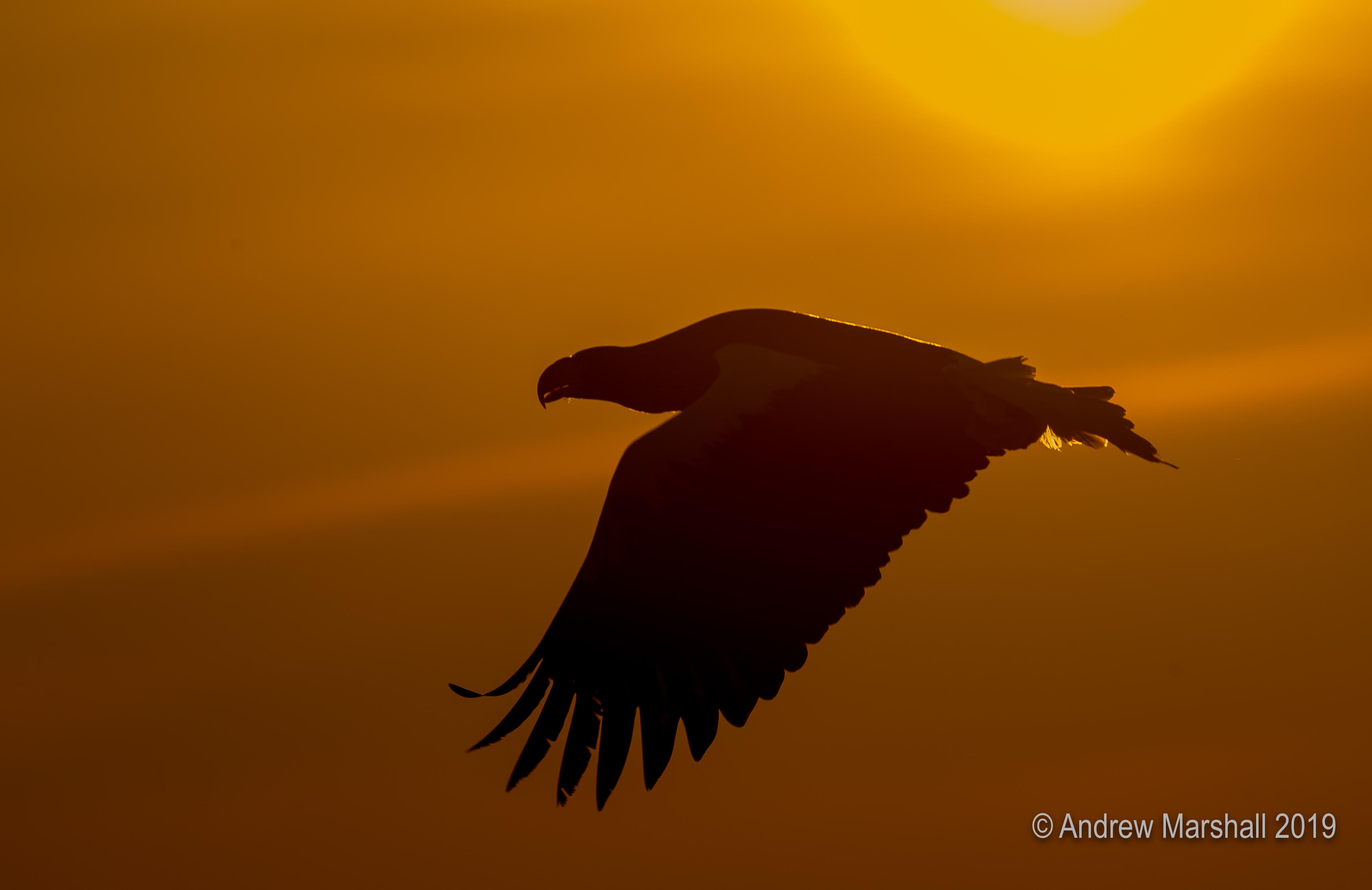 Eagle flying into the sunrise