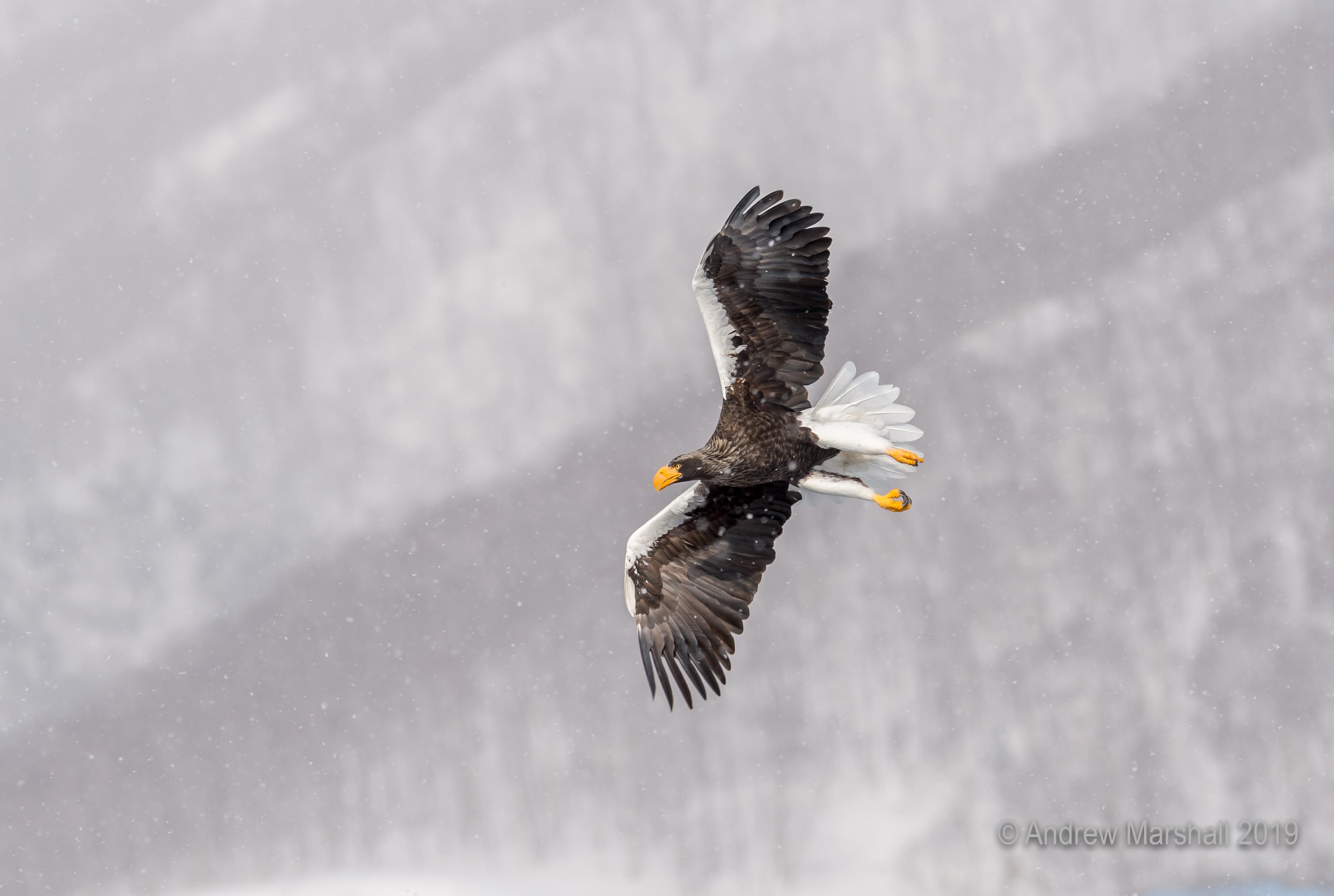 Stellar's sea eagle flying in snow