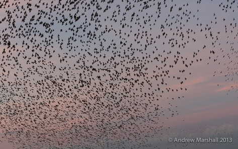 Sunset murmuration