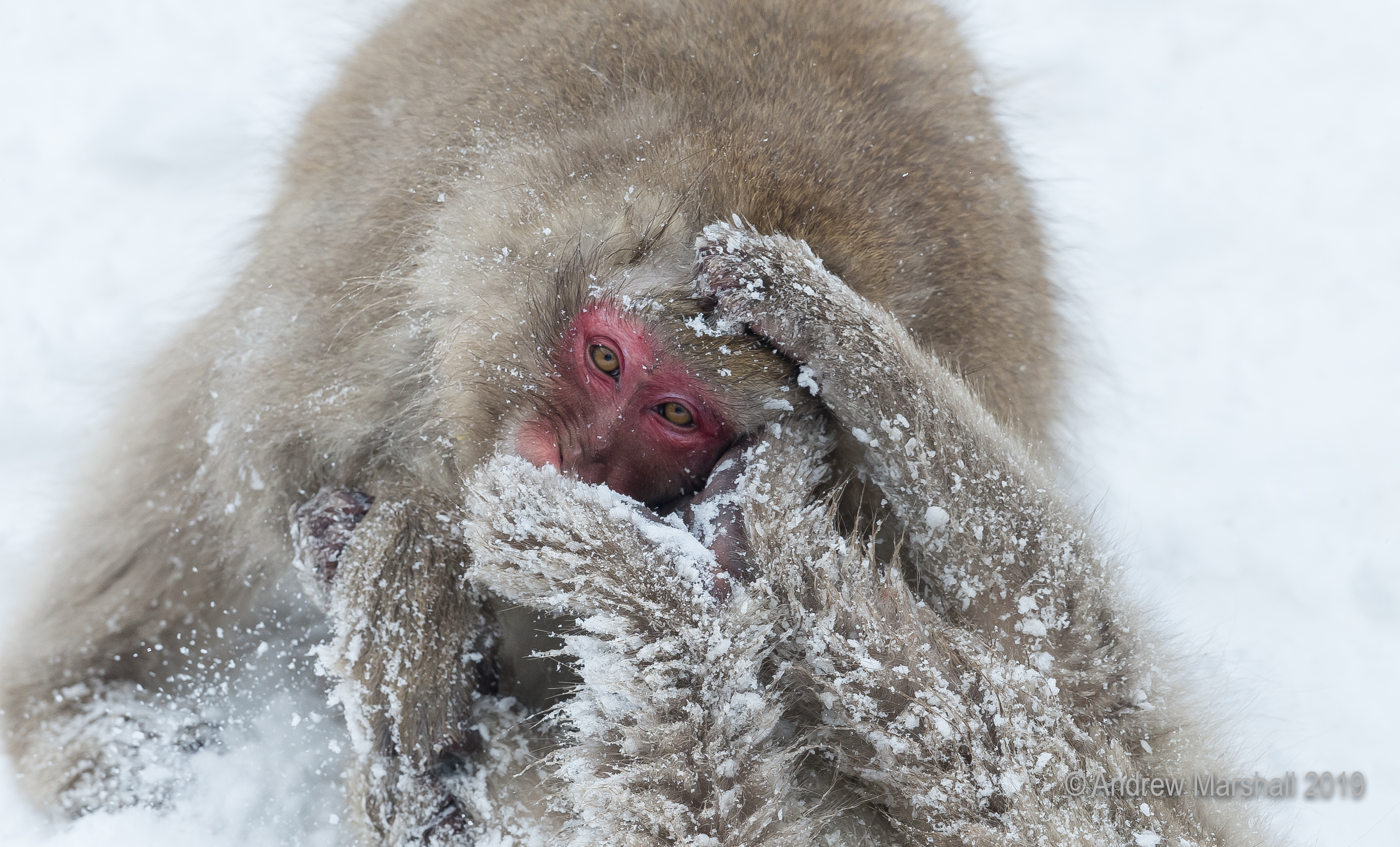 Snow monkey wrestling match