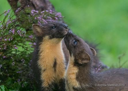 Pine marten affection
