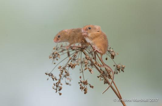 Harvest mice feeding