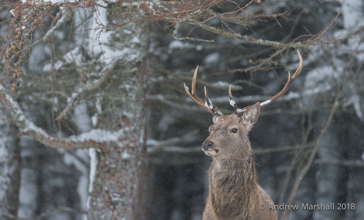 Snow on the antlers
