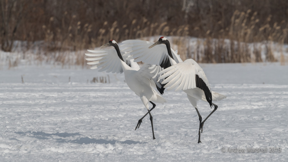 Red crowned cranes synchroncity
