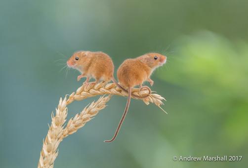 Pair of harvest mice