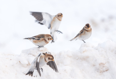 Flurry of snow buntings