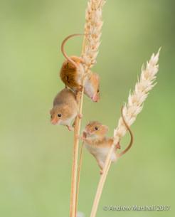 Three Harvest mice