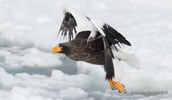 Stellar,s sea eagle flying