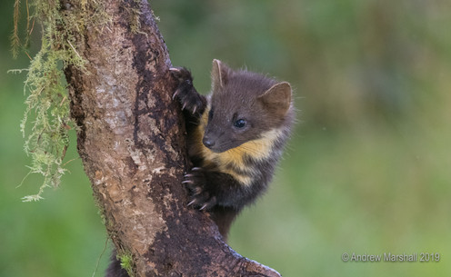 Pine marten kit on the lookout!