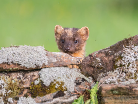 Pine marten photography tuition day trips.