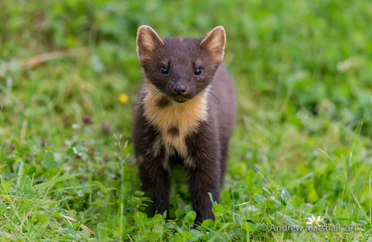 Close up young pine marten